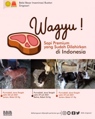 WAGYU, SAPI PREMIUM YANG SUDAH DILAHIRKAN DI INDONESIA